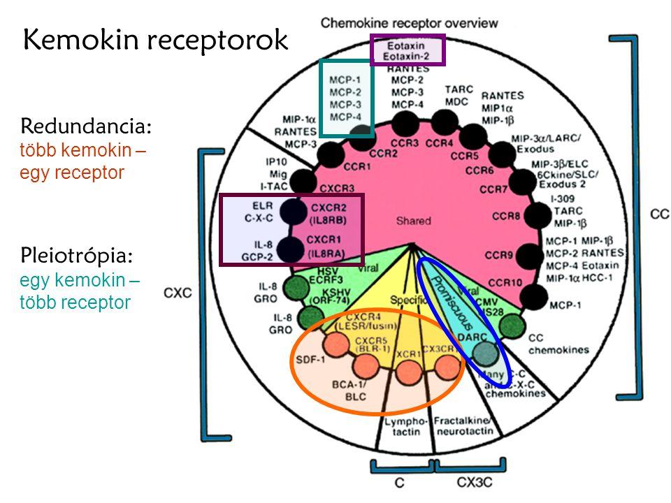 24 Redundancia: több kemokin – egy receptor Pleiotrópia: egy kemokin – több receptor Kemokin receptorok