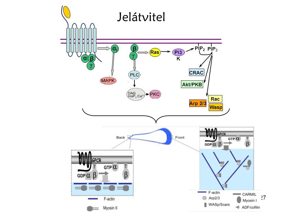 27 Jelátvitel α β γ αiαi β γ Ras PIP 2 PIP 3 PI3 K CRAC Akt/PKB Rac Wasp Arp 2/3