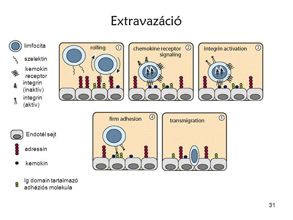 31 limfocita szelektin adressin integrin (inaktív) Endotél sejt kemokin receptor integrin (aktív) kemokin Ig domain tartalmazó adhéziós molekula Extra