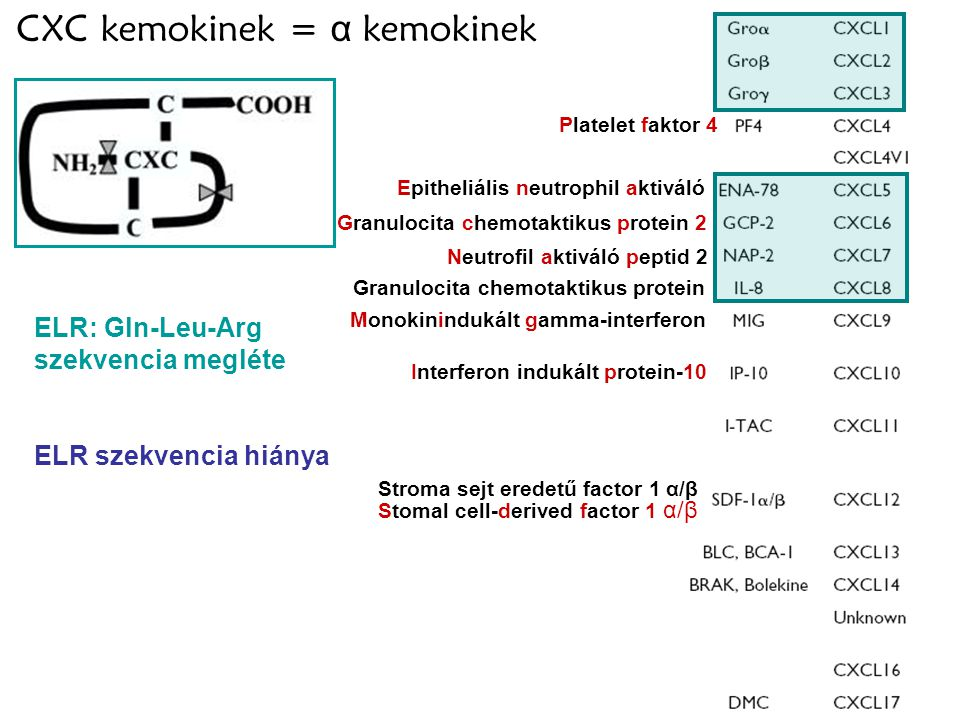 4 CXC kemokinek = α kemokinek Platelet faktor 4 Epitheliális neutrophil aktiváló Granulocita chemotaktikus protein 2 Granulocita chemotaktikus protein