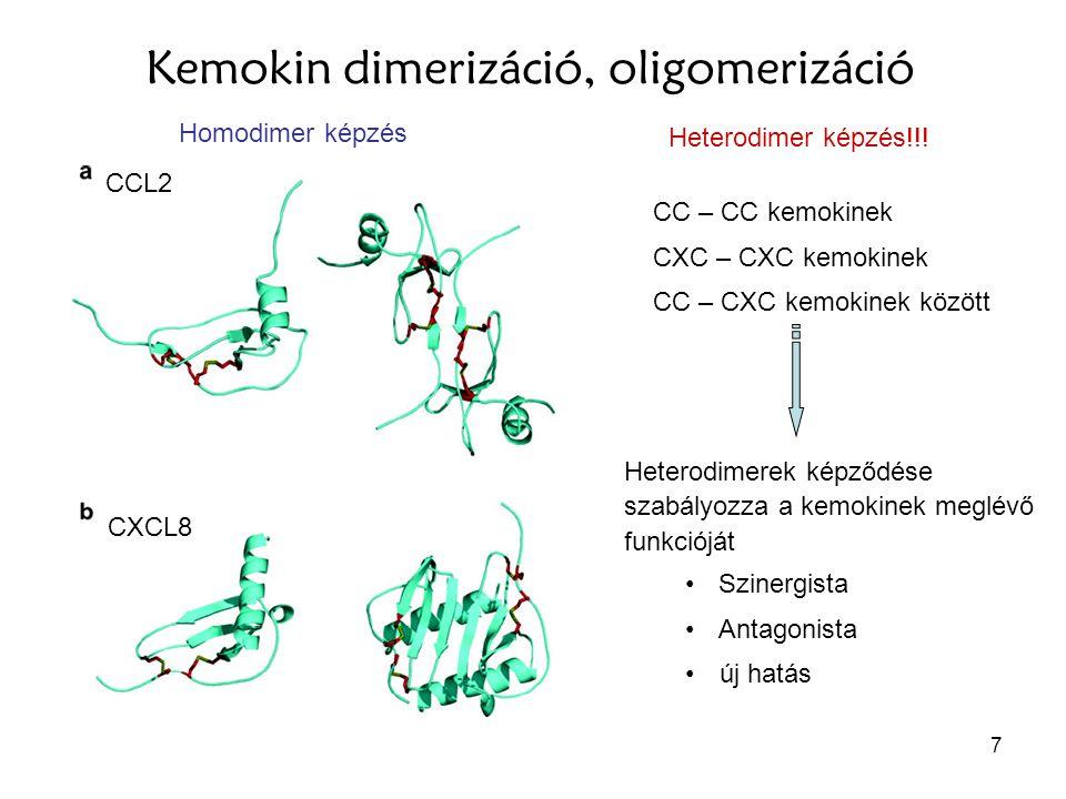 7 Kemokin dimerizáció, oligomerizáció CCL2 CXCL8 Heterodimer képzés!!! Homodimer képzés CC – CC kemokinek CXC – CXC kemokinek CC – CXC kemokinek közöt