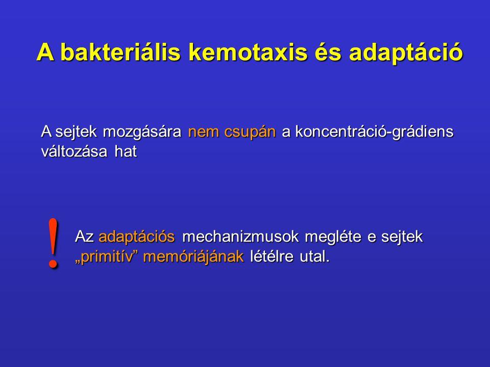 A bakteriális kemotaxis és adaptáció A sejtek mozgására nem csupán a koncentráció-grádiens változása hat Az adaptációs mechanizmusok megléte e sejtek