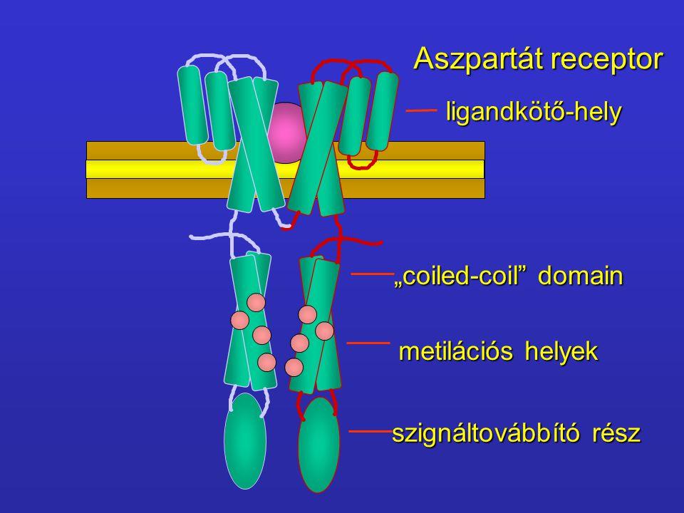 """Aszpartát receptor ligandkötő-hely """"coiled-coil"""" domain metilációs helyek szignáltovábbító rész"""