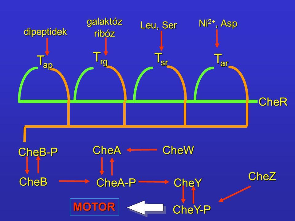 T ap T rg T sr T ar dipeptidek galaktózribóz Leu, Ser Ni 2+, Asp CheR CheB-P CheB CheA CheA-P CheY CheY-P CheW CheZ MOTOR