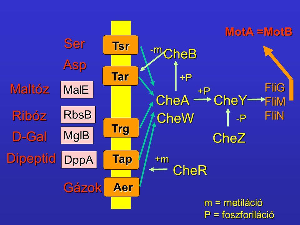 MalE RbsB MglB DppA Ser Asp Maltóz Ribóz D-Gal Dipeptid Gázok Tsr Tar Trg Tap Aer CheA CheW CheR CheB CheY CheZ FliGFliMFliN MotA =MotB +m -m +P +P -P