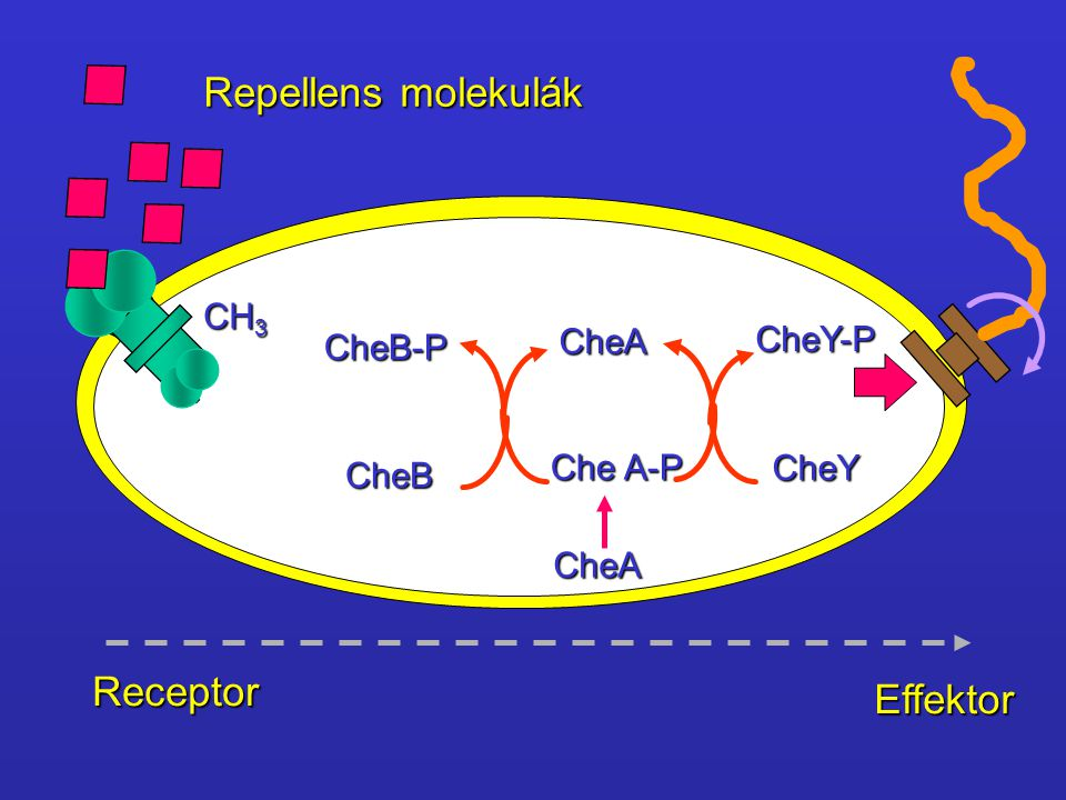 CH 3 CheB-P CheB CheA CheA Che A-P CheY CheY-P Repellens molekulák Receptor Effektor
