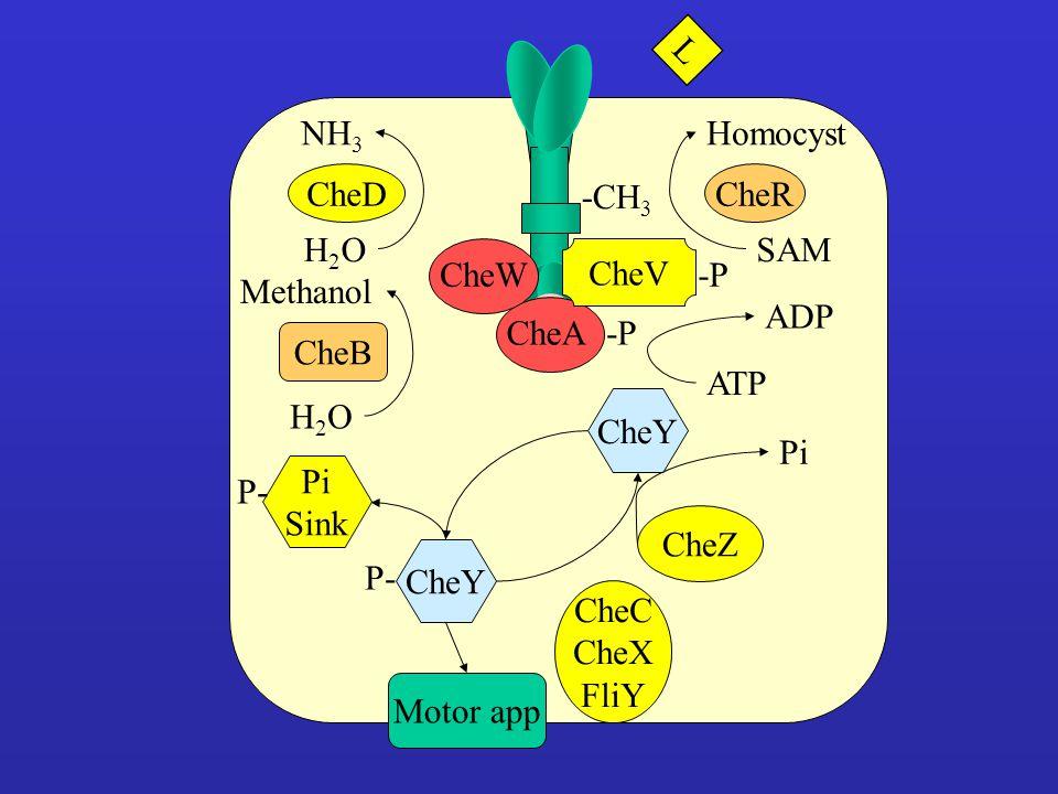 CheACheW CheV -P CheY CheC CheX FliY Motor app CheZ Pi P- Pi Sink P- CheB H2OH2O Methanol CheD H2OH2O NH 3 -P ATP ADP -CH 3 CheR SAM Homocyst L