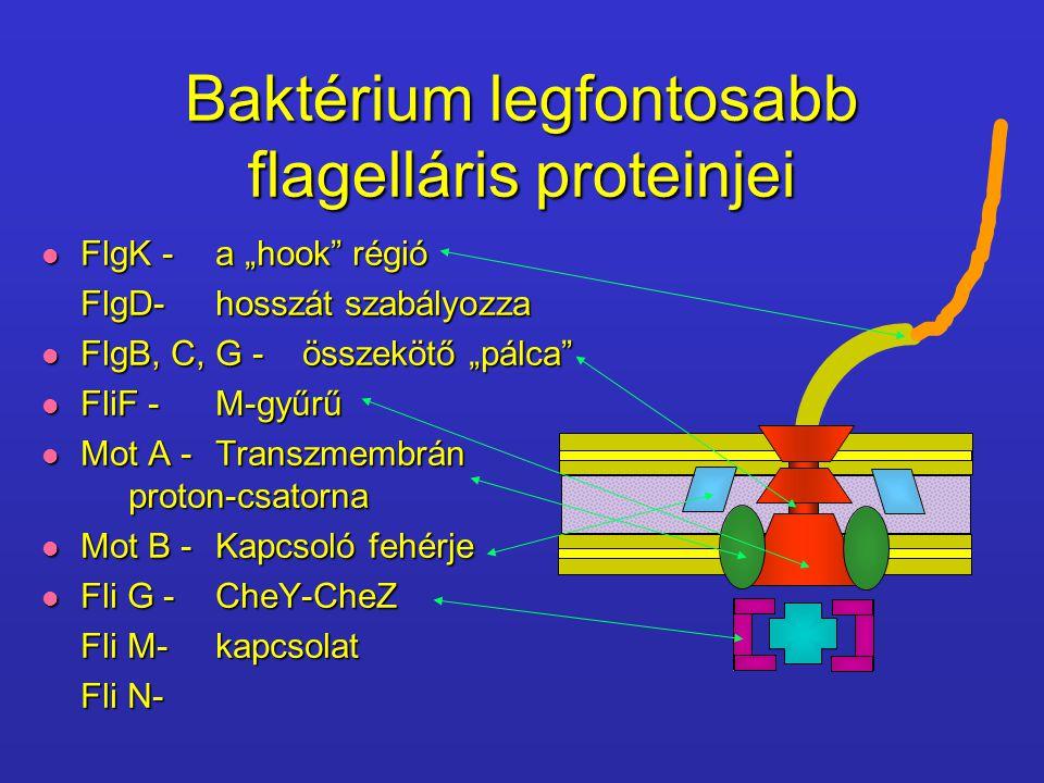 """Baktérium legfontosabb flagelláris proteinjei FlgK -a """"hook"""" régió FlgK -a """"hook"""" régió FlgD-hosszát szabályozza FlgB, C, G - összekötő """"pálca"""" FlgB,"""