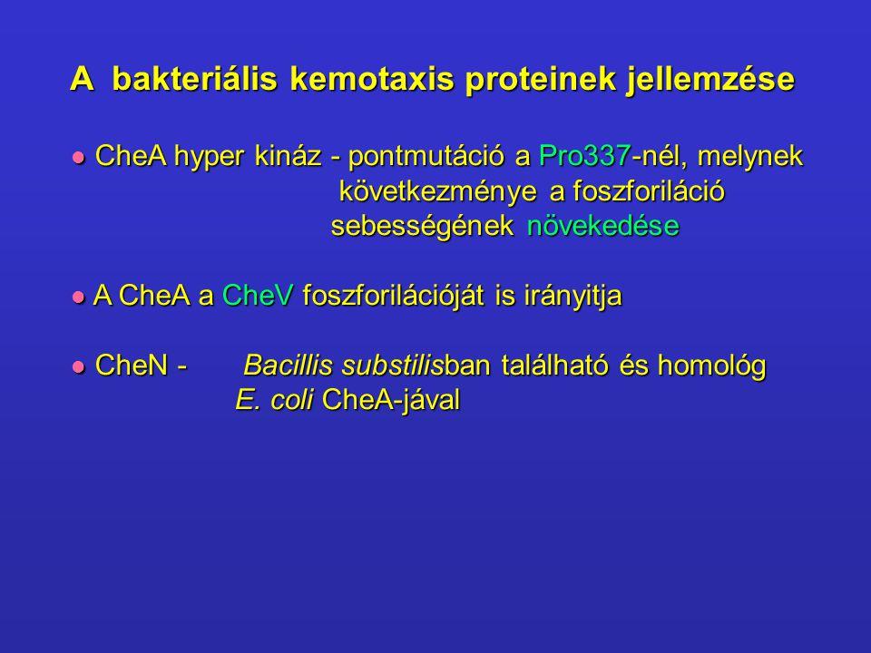 CheA hyper kináz - pontmutáció a Pro337-nél, melynek CheA hyper kináz - pontmutáció a Pro337-nél, melynek következménye a foszforiláció következménye