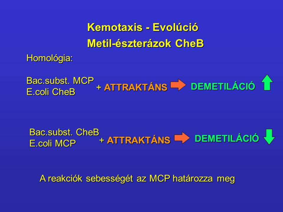 Metil-észterázok CheB Homológia: Bac.subst. MCP E.coli CheB + ATTRAKTÁNS DEMETILÁCIÓ Bac.subst. CheB E.coli MCP + ATTRAKTÁNS DEMETILÁCIÓ A reakciók se