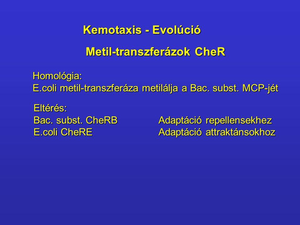 Metil-transzferázok CheR Homológia: E.coli metil-transzferáza metilálja a Bac. subst. MCP-jét Eltérés: Bac. subst. CheRB Adaptáció repellensekhez E.co