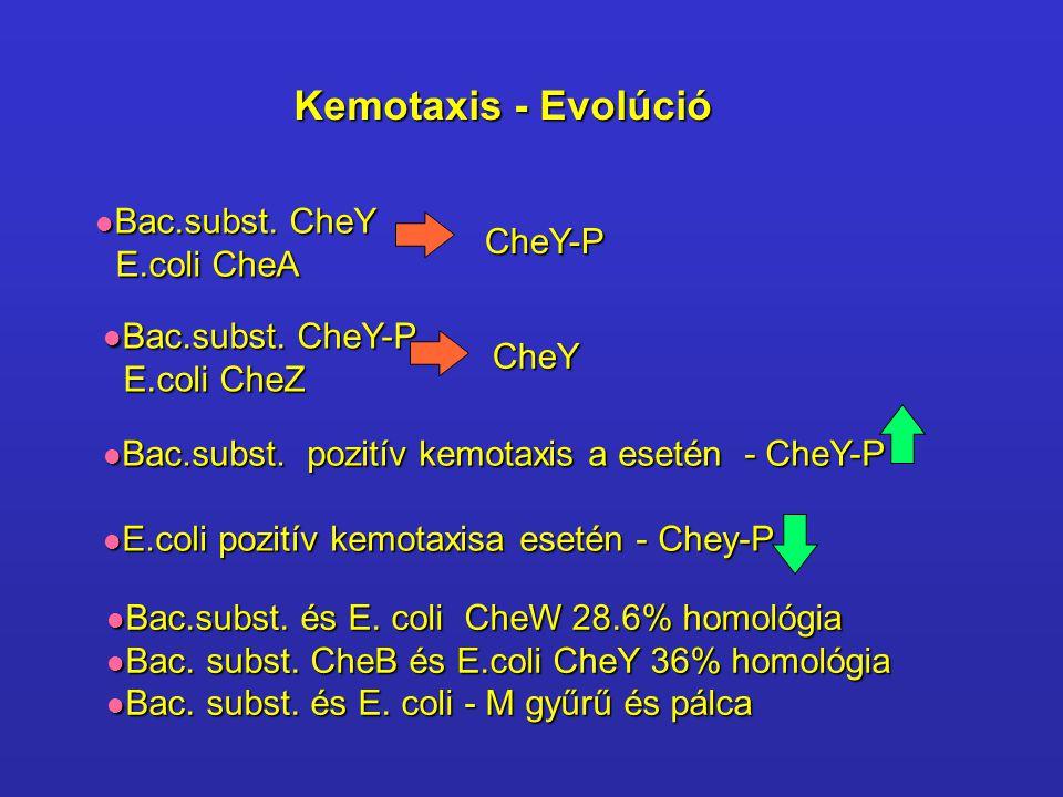 Kemotaxis - Evolúció Bac.subst. CheY Bac.subst. CheY E.coli CheA E.coli CheA Bac.subst. CheY-P Bac.subst. CheY-P E.coli CheZ E.coli CheZ CheY-P CheY B