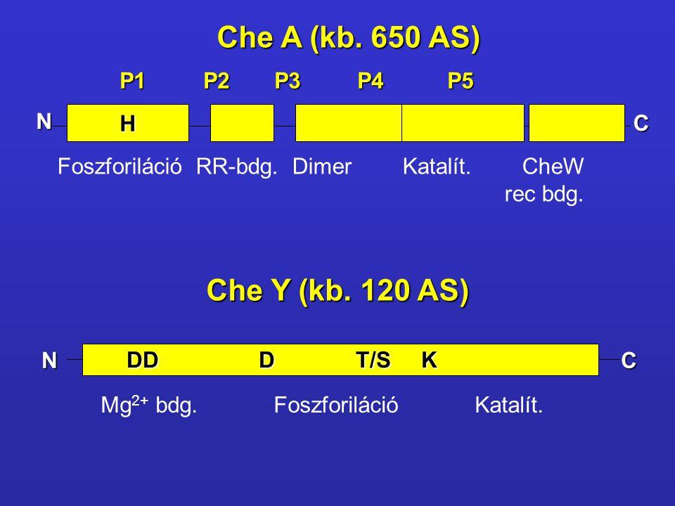 H P1 P2 P3 P4 P5 Foszforiláció RR-bdg. Dimer Katalít. CheW rec bdg. Che A (kb. 650 AS) Che Y (kb. 120 AS) N C DD D T/S K DD D T/S K Mg 2+ bdg. Foszfor