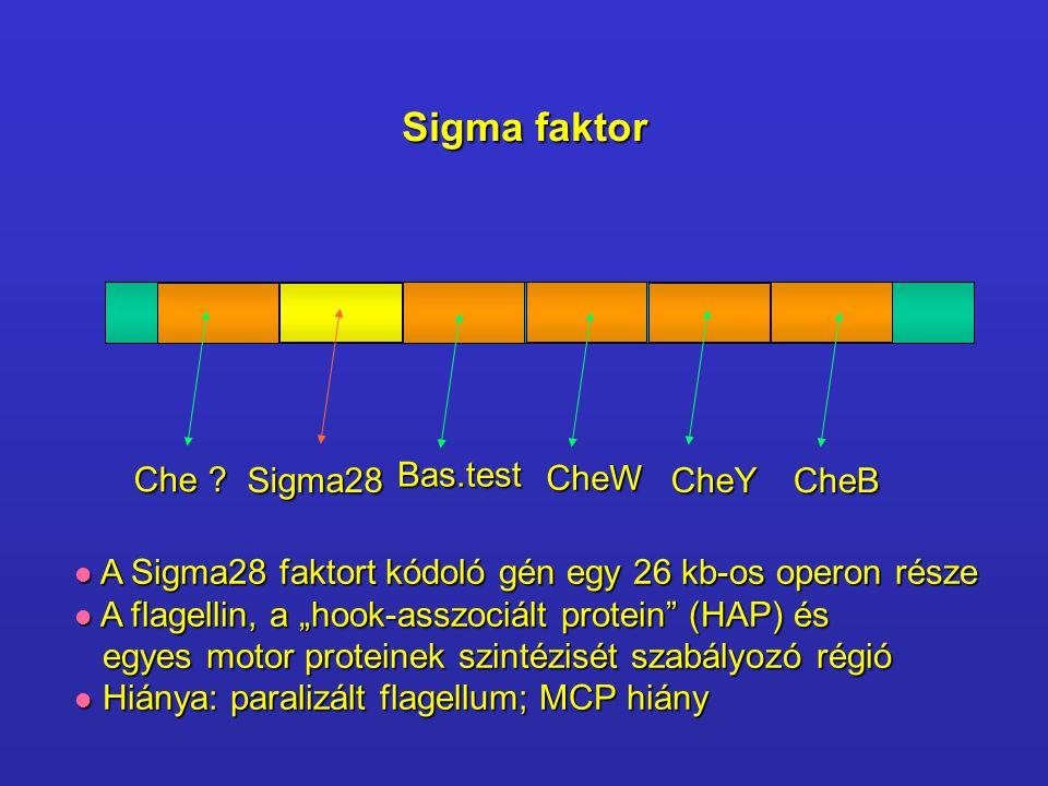 Sigma faktor Che ? Sigma28CheY CheB CheW Bas.test A Sigma28 faktort kódoló gén egy 26 kb-os operon része A Sigma28 faktort kódoló gén egy 26 kb-os ope
