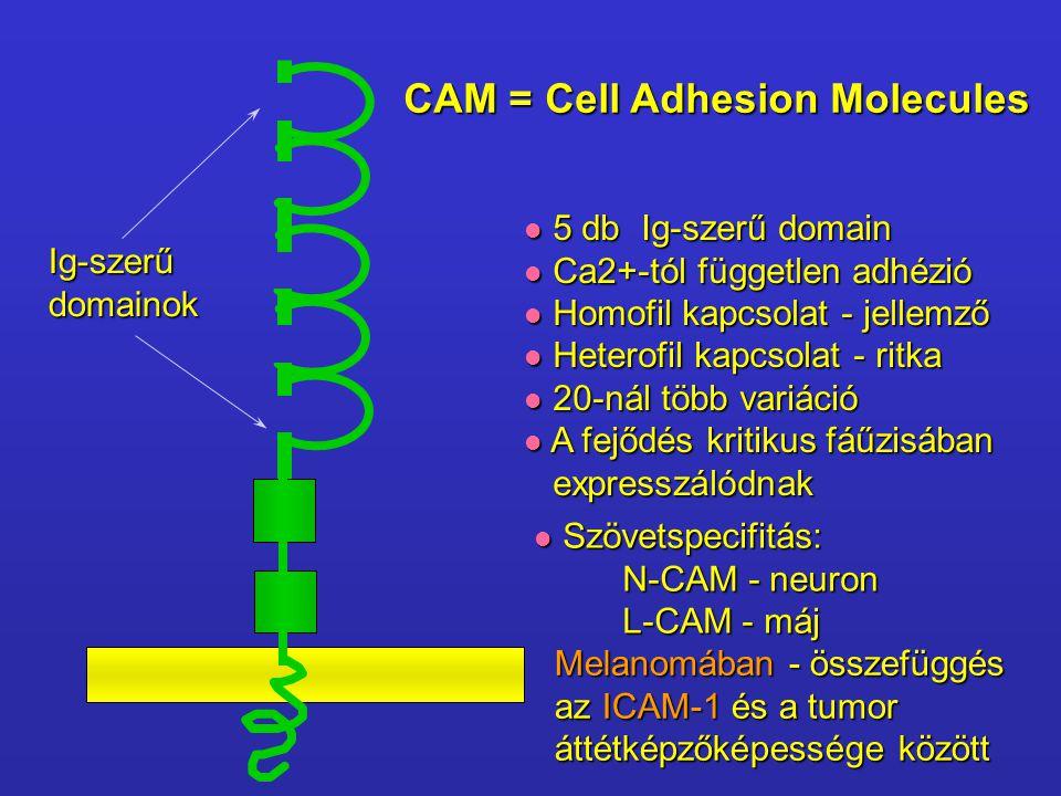 Ig-szerűdomainok CAM = Cell Adhesion Molecules 5 db Ig-szerű domain 5 db Ig-szerű domain Ca2+-tól független adhézió Ca2+-tól független adhézió Homofil kapcsolat - jellemző Homofil kapcsolat - jellemző Heterofil kapcsolat - ritka Heterofil kapcsolat - ritka 20-nál több variáció 20-nál több variáció A fejődés kritikus fáűzisában A fejődés kritikus fáűzisában expresszálódnak expresszálódnak Szövetspecifitás: Szövetspecifitás: N-CAM - neuron L-CAM - máj Melanomában - összefüggés az ICAM-1 és a tumor áttétképzőképessége között
