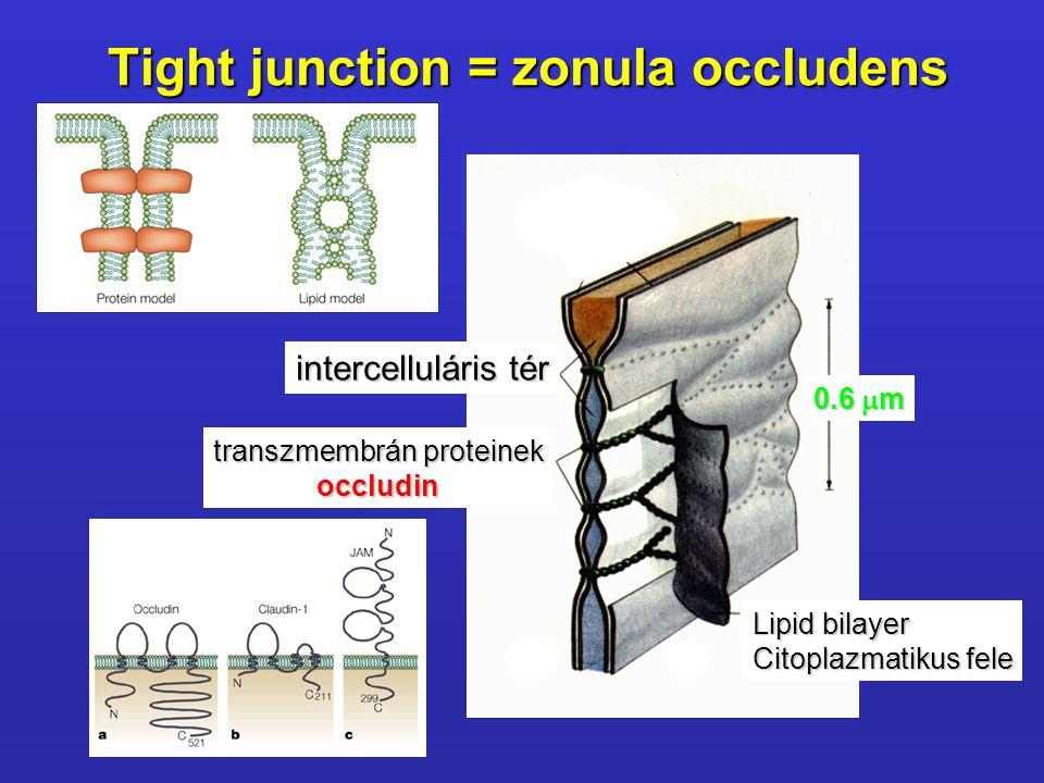Tight junction = zonula occludens intercelluláris tér Lipid bilayer Citoplazmatikus fele transzmembrán proteinek occludin 0.6  m