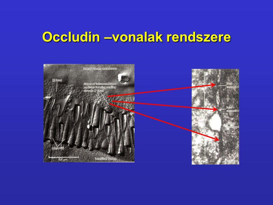 Occludin –vonalak rendszere