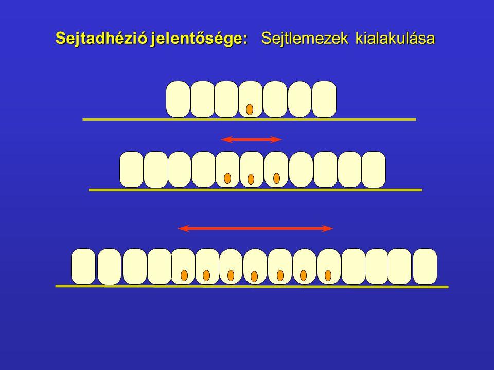 Sejtkapcsoló struktúrák Tight junction Tight junction Zonula adherens Zonula adherens Desmosoma Desmosoma Gap junction Gap junction Hemidesmosoma Hemidesmosoma Interdigitáció Interdigitáció