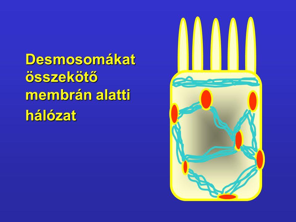 Desmosomákat összekötő membrán alatti hálózat