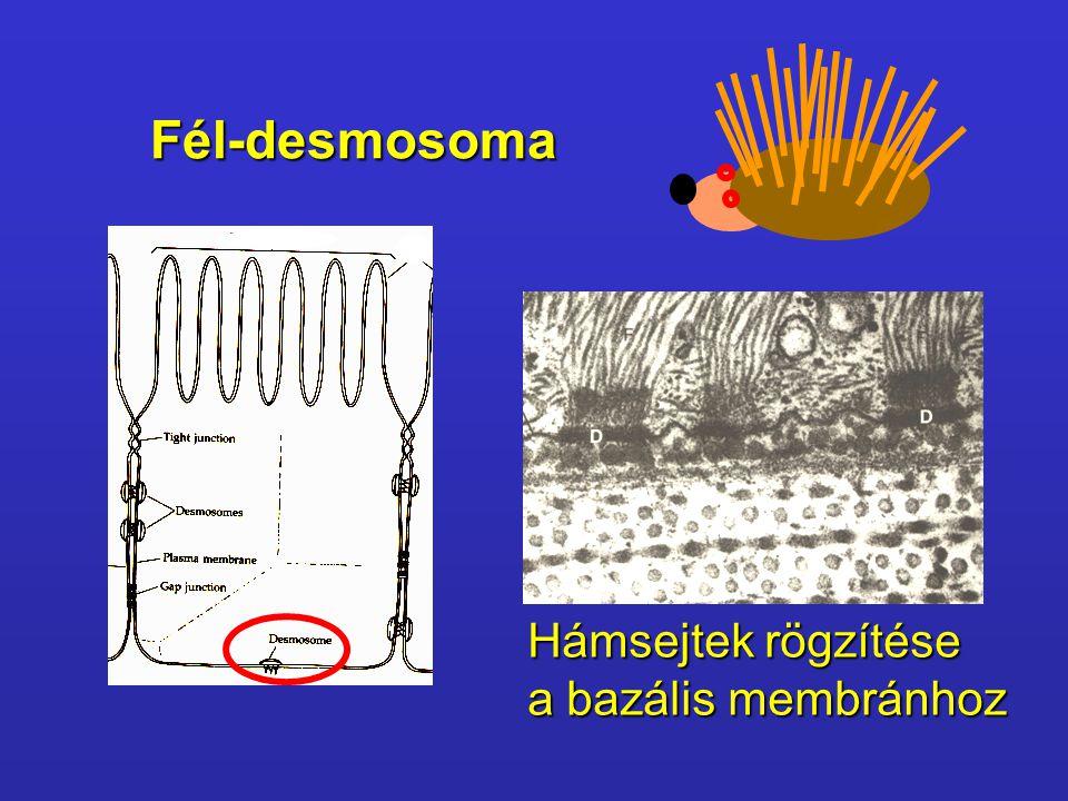 Fél-desmosoma Fél-desmosoma Hámsejtek rögzítése a bazális membránhoz