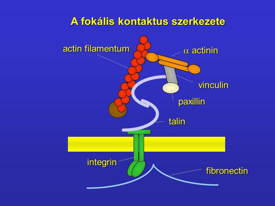 actin filamentum  actinin vinculin paxillin talin integrin fibronectin A fokális kontaktus szerkezete