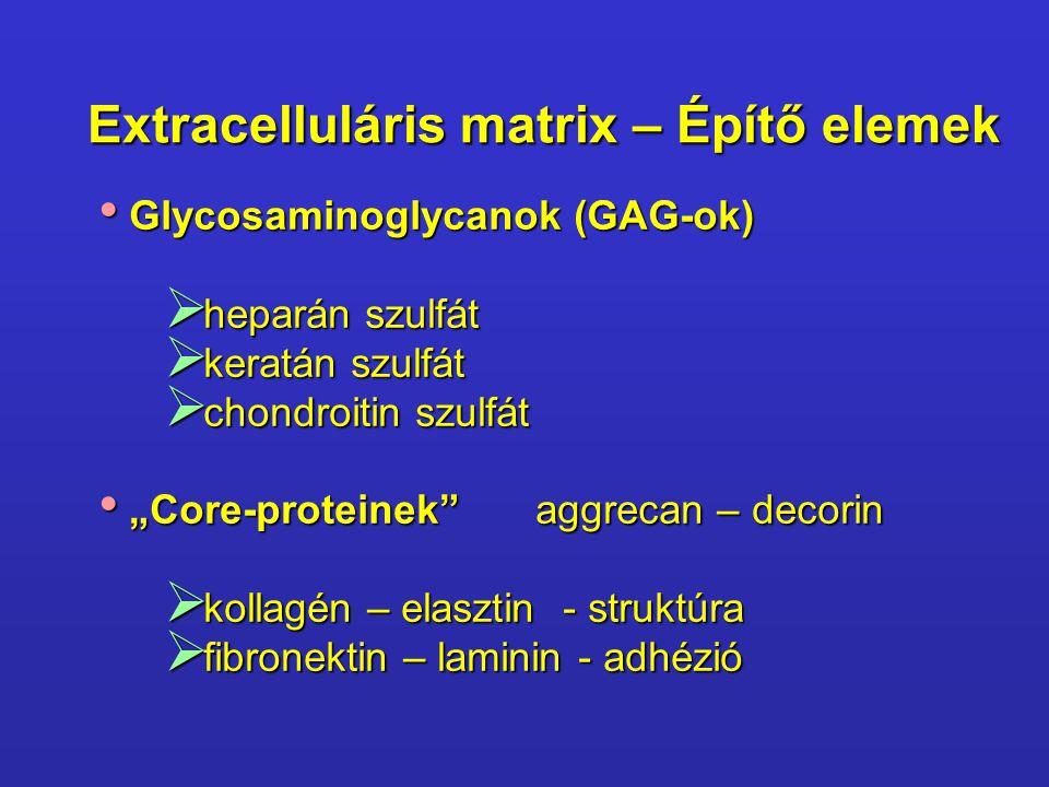 Extracelluláris matrix – Építő elemek Glycosaminoglycanok (GAG-ok) Glycosaminoglycanok (GAG-ok)  heparán szulfát  keratán szulfát  chondroitin szul