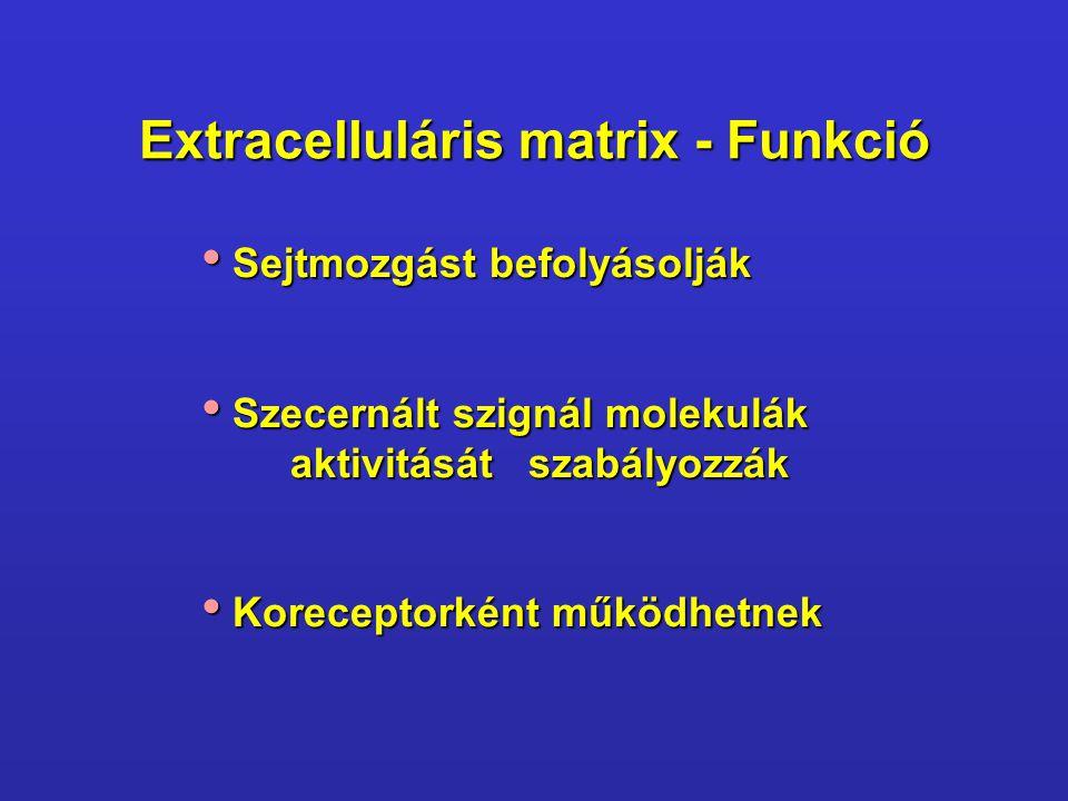 Extracelluláris matrix - Funkció Sejtmozgást befolyásolják Sejtmozgást befolyásolják Szecernált szignál molekulák aktivitását szabályozzák Szecernált szignál molekulák aktivitását szabályozzák Koreceptorként működhetnek Koreceptorként működhetnek