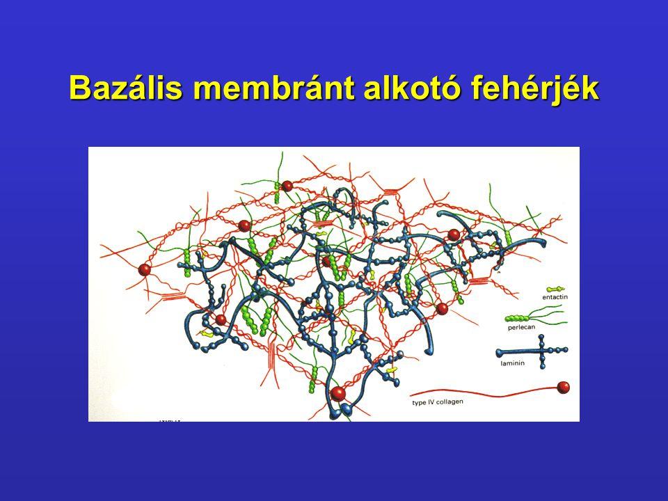 Bazális membránt alkotó fehérjék