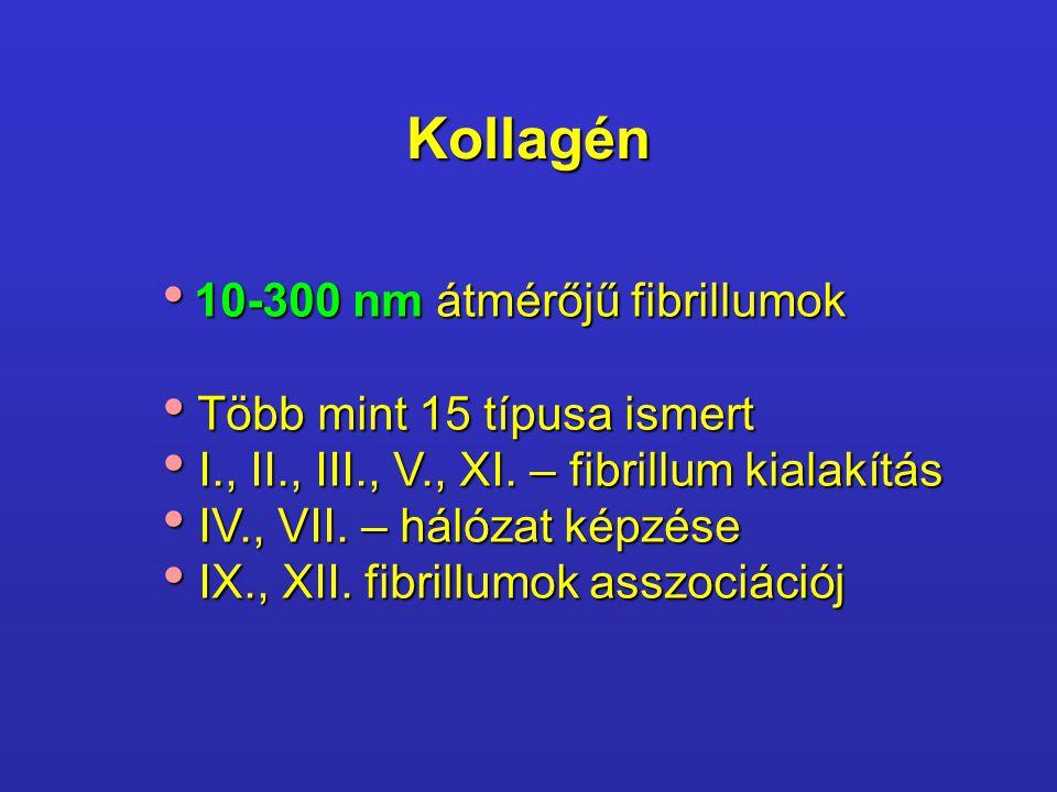 Kollagén 10-300 nm átmérőjű fibrillumok 10-300 nm átmérőjű fibrillumok Több mint 15 típusa ismert Több mint 15 típusa ismert I., II., III., V., XI. –