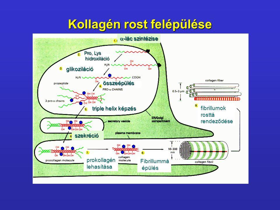 Kollagén rost felépülése Pro, Lys hidroxiláció hidroxiláció összeépülés triple helix képzés szekréció prokollagénlehasítása Fibrillummá épülés épülés
