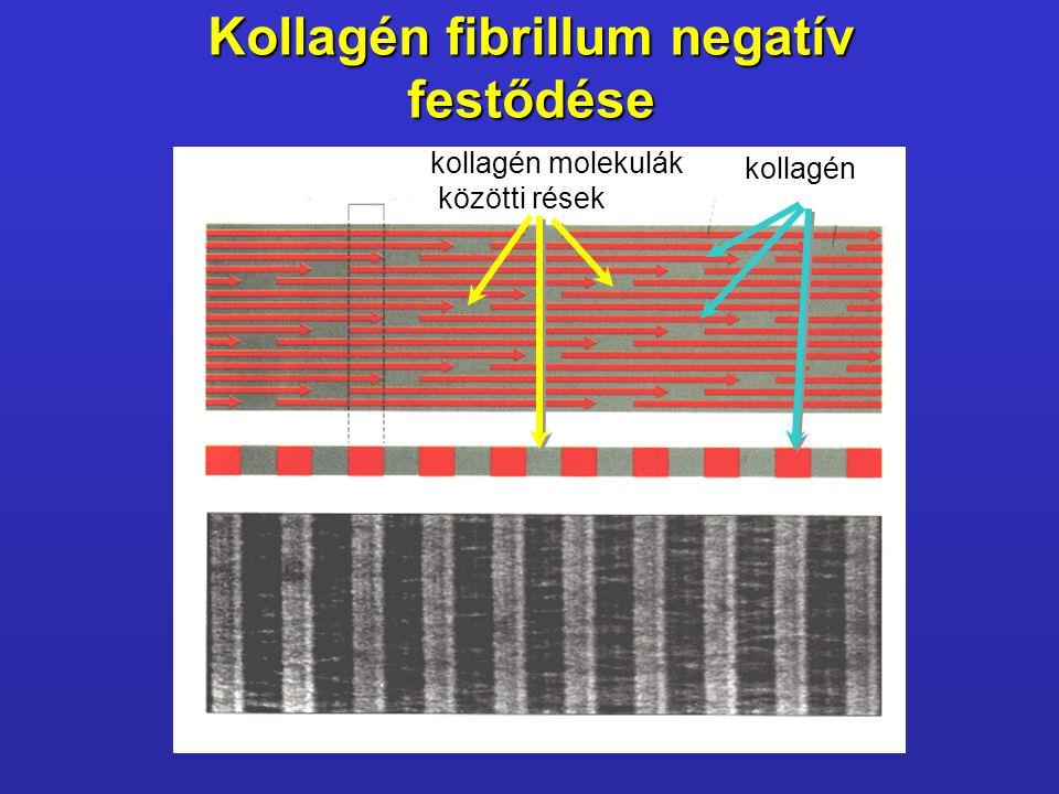 Kollagén fibrillum negatív festődése kollagén molekulák közötti rések közötti rések kollagén
