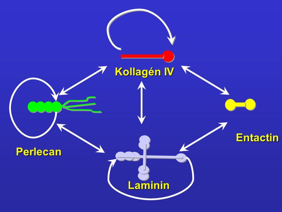 Kollagén IV Perlecan Laminin Entactin