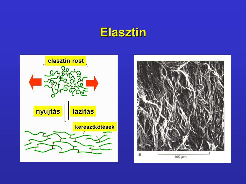 Elasztin nyújtáslazítás keresztkötések elasztin rost
