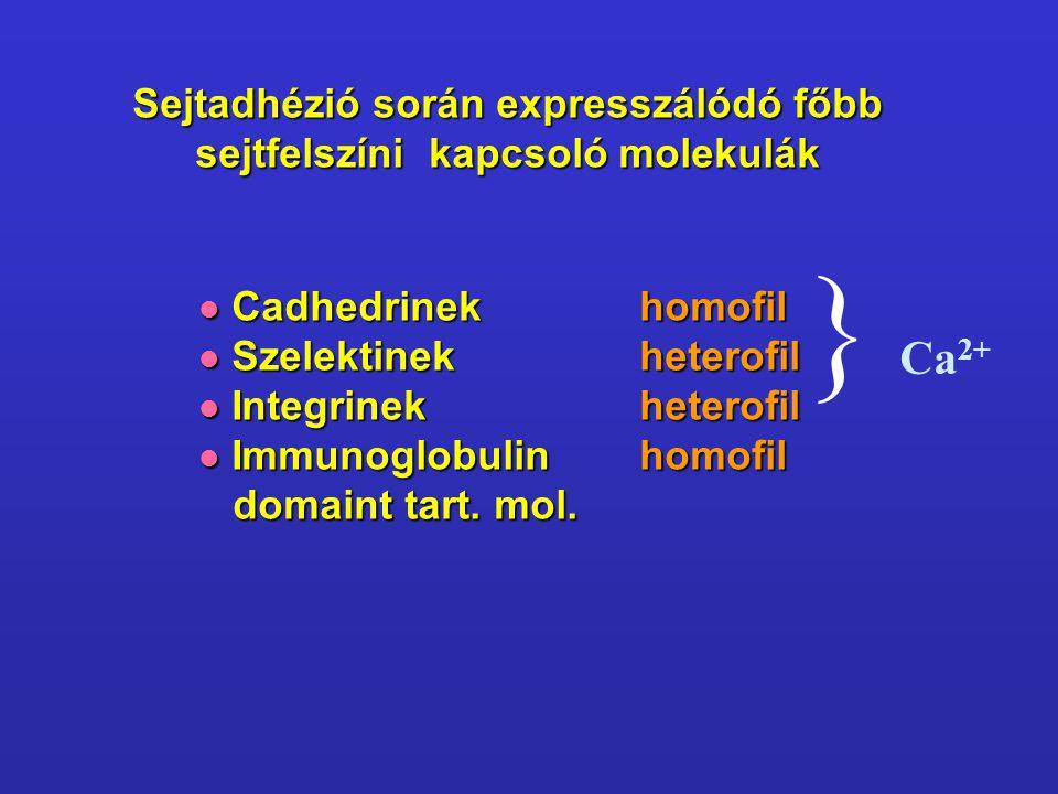 Sejtadhézió során expresszálódó főbb sejtfelszíni kapcsoló molekulák Cadhedrinekhomofil Cadhedrinekhomofil Szelektinekheterofil Szelektinekheterofil I