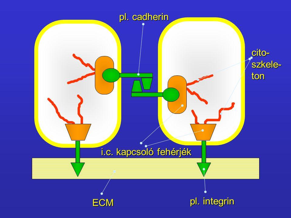 Rekeszes desmosoma – septate junction a sejtek apikális részénél találhatók a sejtek apikális részénél találhatók folytonos gyűrűt képeznek (ld.