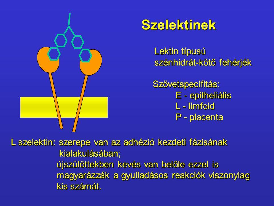 Szelektinek Lektin típusú szénhidrát-kötő fehérjék Szövetspecifitás: E - epitheliális L - limfoid P - placenta L szelektin: szerepe van az adhézió kez