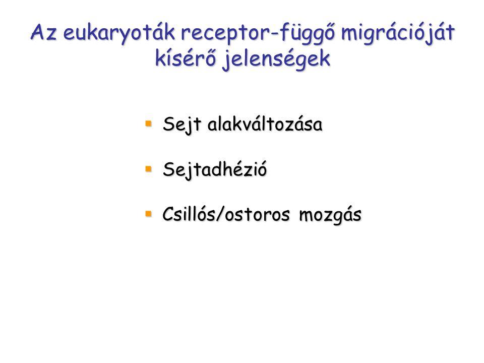 Az eukaryoták receptor-függő migrációját kísérő jelenségek  Sejt alakváltozása  Sejtadhézió  Csillós/ostoros mozgás