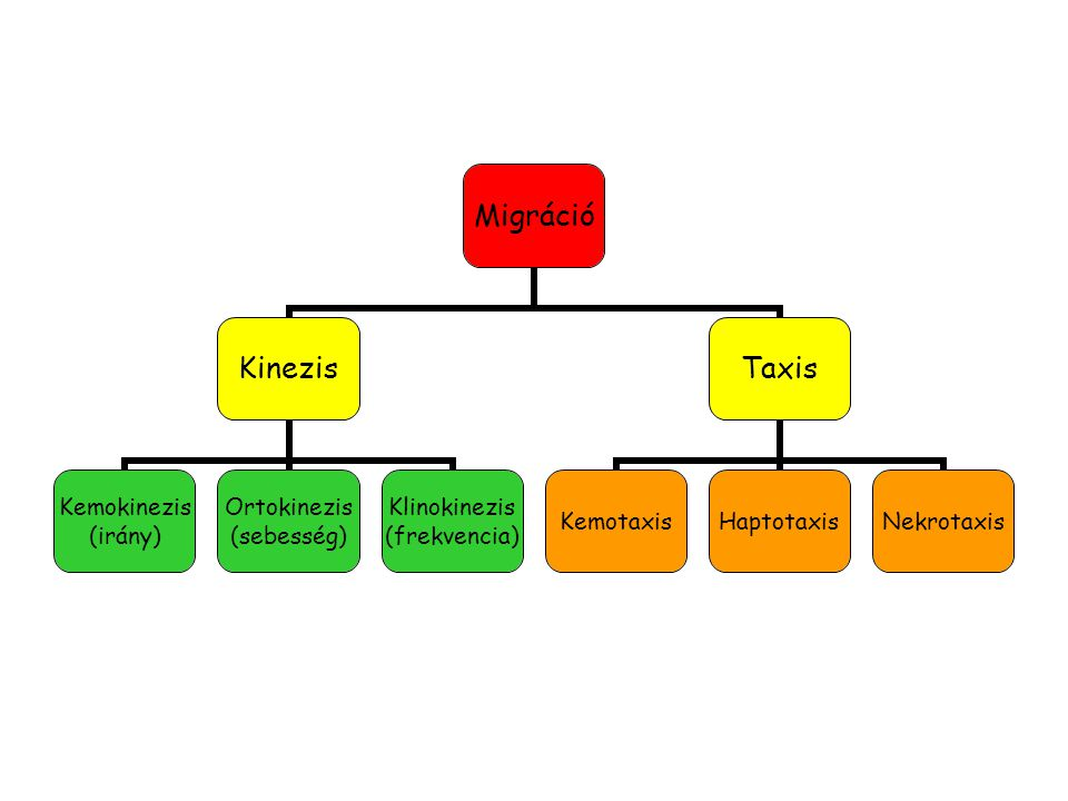 Migráció Kinezis Kemokinezis (irány) Ortokinezis (sebesség) Klinokinezis (frekvencia) Taxis KemotaxisHaptotaxisNekrotaxis