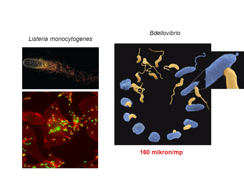Listeria monocytogenes Bdellovibrio 160 mikron/mp