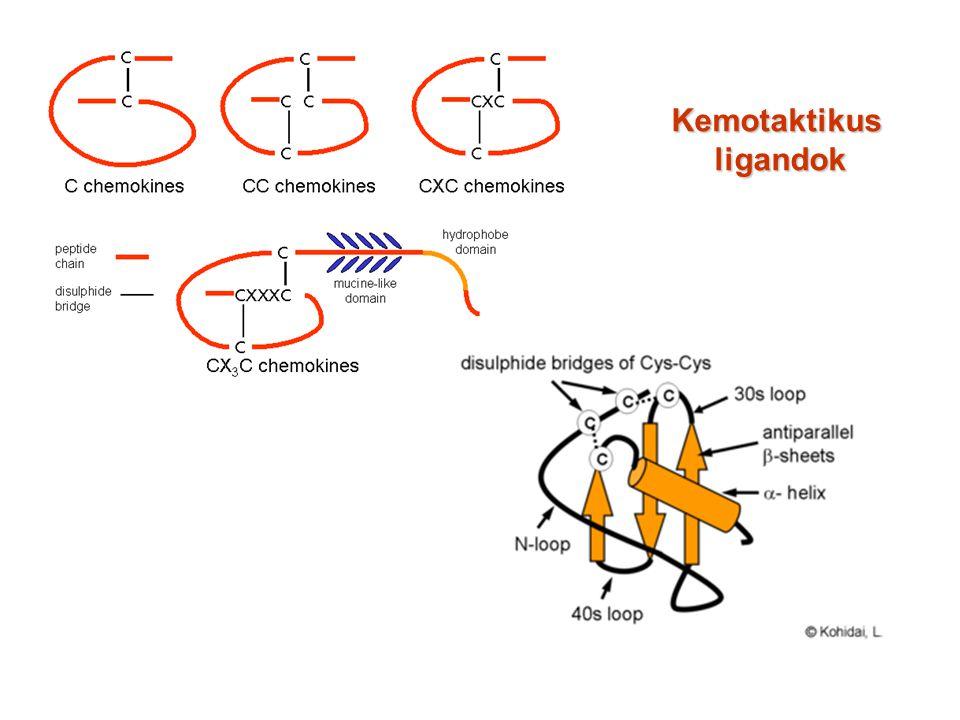 receptor kemokin NH2- HOOC- A kemotaxis-receptorok