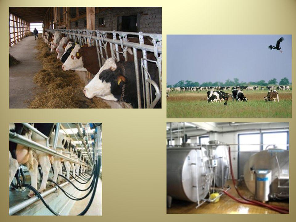 A tej szűrése A fejés során elkerülhetetlen, hogy a környezetből ne kerüljön több-kevesebb szennyeződés (alom, szőr, bélsár, por, rovarok, stb.) a tejbe.