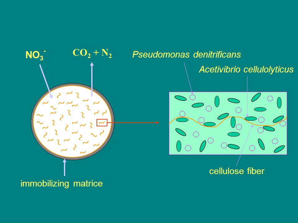 NO 3 - CO 2 + N 2 immobilizing matrice cellulose fiber Pseudomonas denitrificans Acetivibrio cellulolyticus
