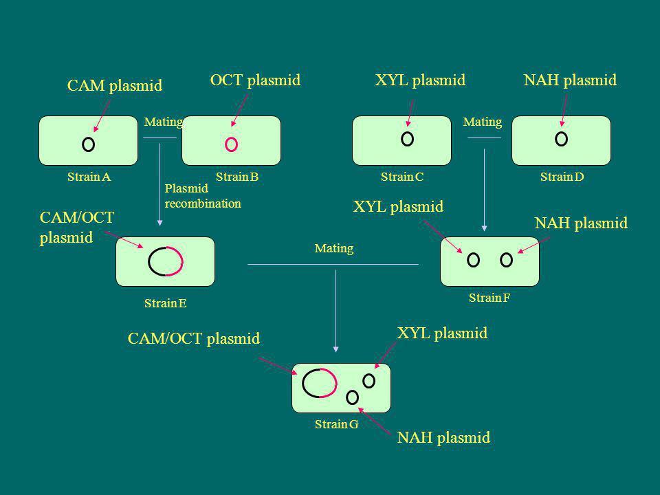CAM plasmid OCT plasmidXYL plasmidNAH plasmid XYL plasmid NAH plasmid XYL plasmid NAH plasmid CAM/OCT plasmid Mating Plasmid recombination Mating Stra
