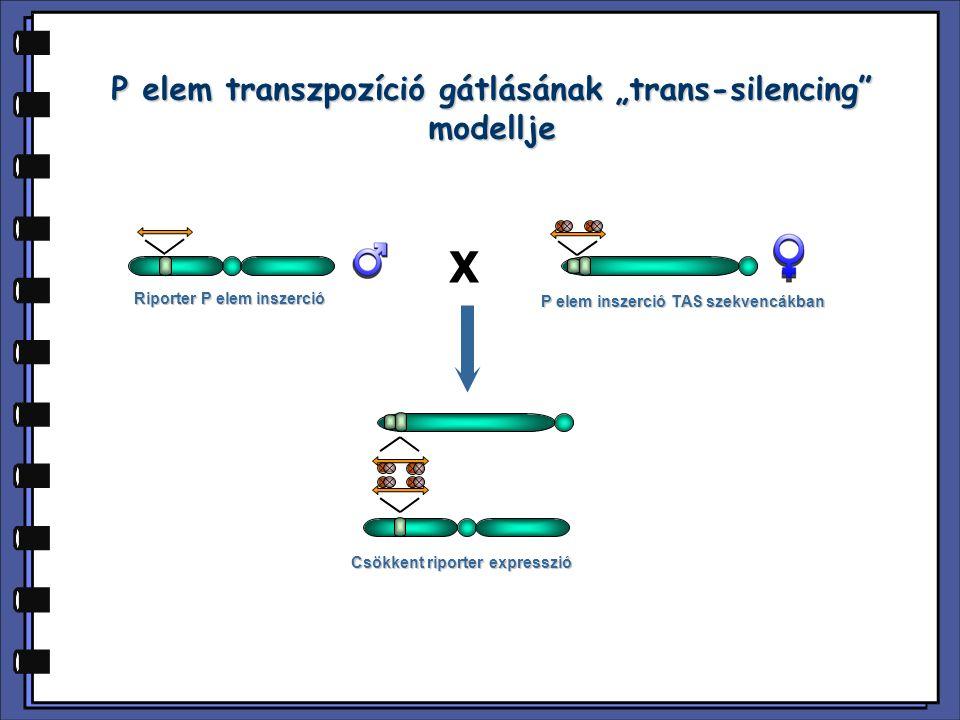 """X P elem inszerció TAS szekvencákban Riporter P elem inszerció Csökkent riporter expresszió P elem transzpozíció gátlásának """"trans-silencing"""" modellje"""