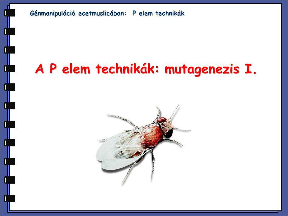 Génmanipuláció ecetmuslicában: P elem technikák A P elem technikák: mutagenezis I.