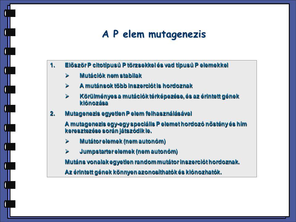 A P elem mutagenezis 1.Először P citotípusú P törzsekkel és vad típusú P elemekkel  Mutációk nem stabilak  A mutánsok több inszerciót is hordoznak 