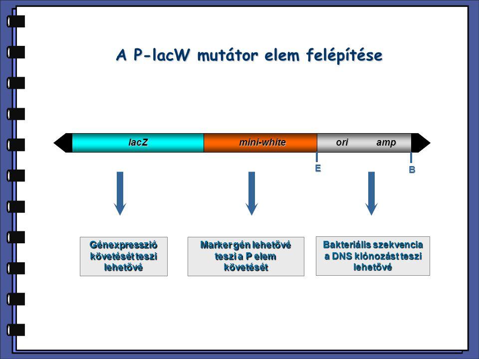 A P-lacW mutátor elem felépítése lacZmini-white ori amp E B Génexpresszió követését teszi lehetővé Marker gén lehetővé teszi a P elem követését Bakter