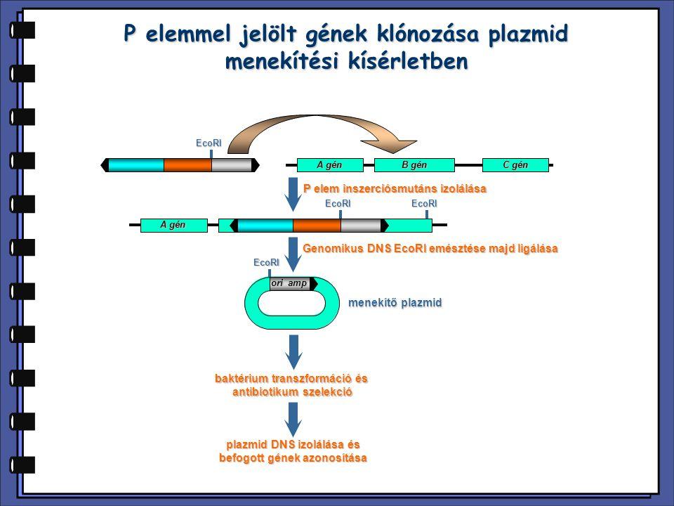 EcoRI P elemmel jelölt gének klónozása plazmid menekítési kísérletben ori amp EcoRI A gén B gén C gén EcoRIEcoRI A gén baktérium transzformáció és ant