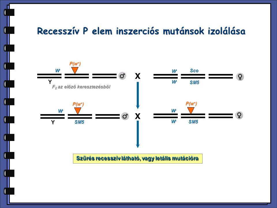 Y W-W-W-W- P(w + ) W-W-W-W- W-W-W-W- SM5 Sco X Y W-W-W-W- W-W-W-W- W-W-W-W- SM5 F 2 az előző keresztezésből X Szűrés recesszív látható, vagy letális m