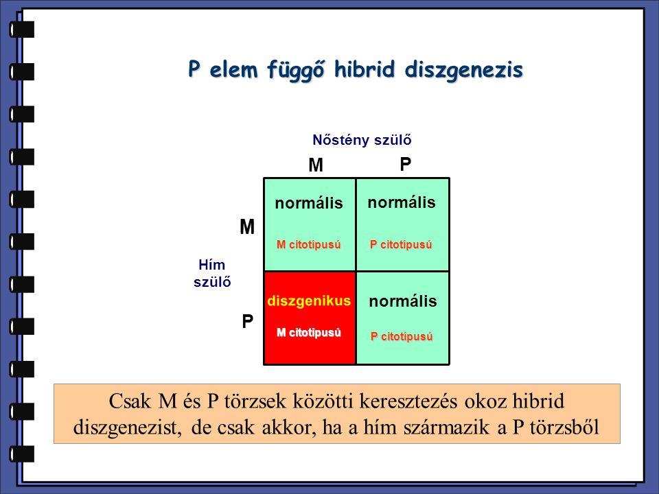 P elem függő hibrid diszgenezis Nőstény szülő Hím szülő M P M M P normális diszgenikus Csak M és P törzsek közötti keresztezés okoz hibrid diszgenezis